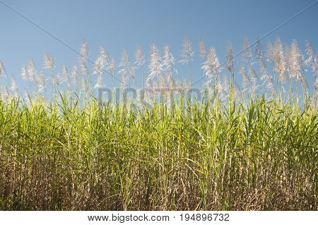 Sugarcane Saccharum officinarum canes growing in an agricultural field against a blue sky grown for their juicy sap which yields molasses and commercial sugar