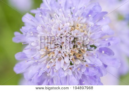 Closeup Of Romantic Soft Purple Pin Cushion Flower Head, Pastel Colors