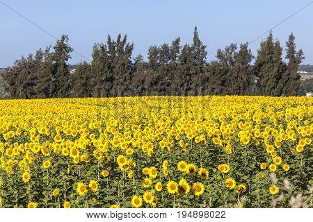 Beautiful sunflower field near town Almonte. Province of Huelva Andalusia Spain