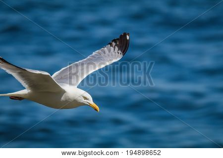 Herring Gull (Larus Argentatus) soaring over the ocean