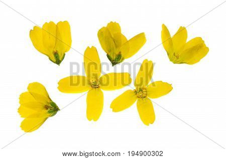 Set of pressed and dried flowers yellow forsythia isolated on white background. For use in scrapbooking floristry (oshibana) or herbarium.