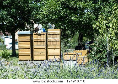 05.07.2017 - Koblenz Germany - Beekeeper on hive adds frames, watching bees. Bees on honeycombs. Frames of a bee hive
