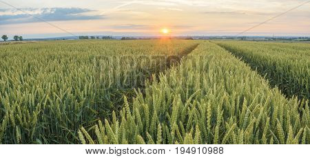 Panorama of wheat field in the morning