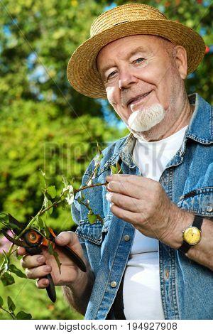 Senior man pruning garden rose branch with secateurs. Gardening and retirement.