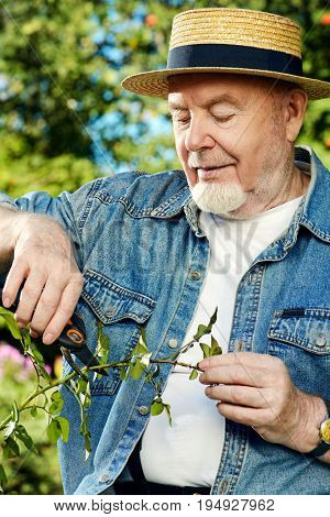 Senior man pruning garden rose branch with secateurs. Gardening and retirement.