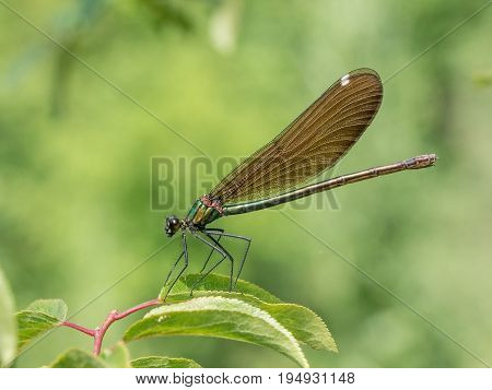 View on a Beautiful demoiselle in the Morning Light. Close-up of a blue Dragonfly at the Lake. Dragonflies (Calopteryx virgo). A Dragonfly sits on a green Leaf