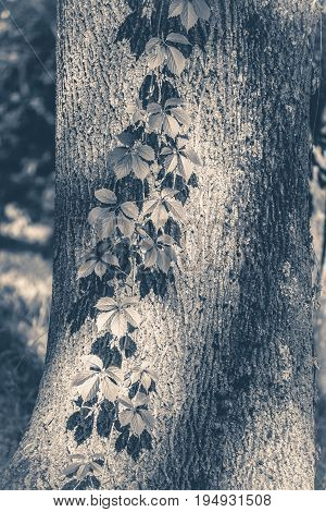 Old vintage photo. Tree trunk ivy plish sunny day copy space