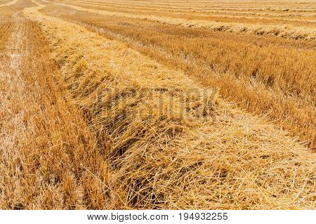 stubble field, Agricultural field where harvest of cereals. Field with cut grain. Blue sky. crop cultivation, dry rye stems, harvest season, healthy nutrition concept.