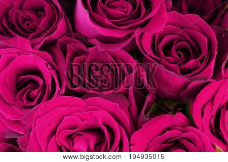 Purple pink roses bouquet for use as background.