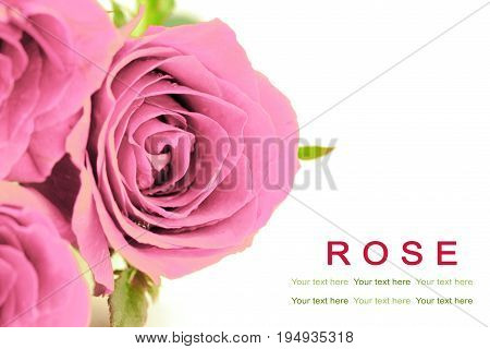Beautiful sweet pink roses on white background.
