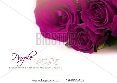Dark purple roses bouquet with sample text on white background.