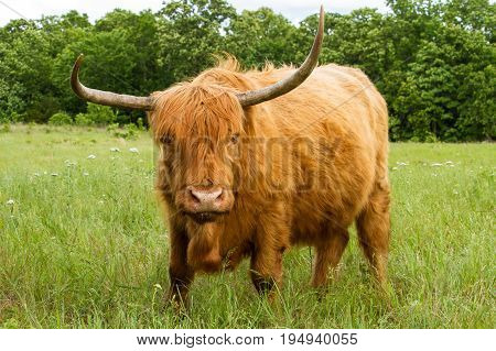 Scottish Highland Cow in a meadow looking at the viewer.