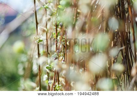 The soft spring background with pussy willow catkins, selective focus, for decoration