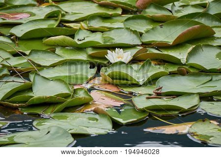 waterlily leaf on lake in summer season