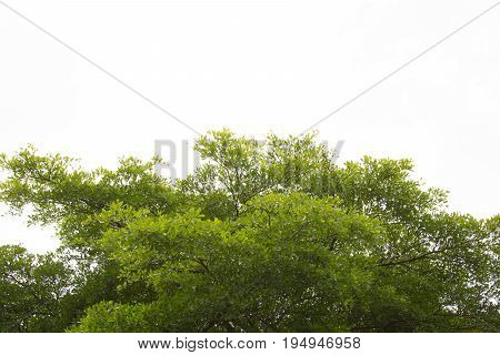 Green leaves isolated. abstract green nature background. Terminalia leaves