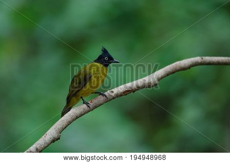 Black-crested Bulbul Perching On A Branch