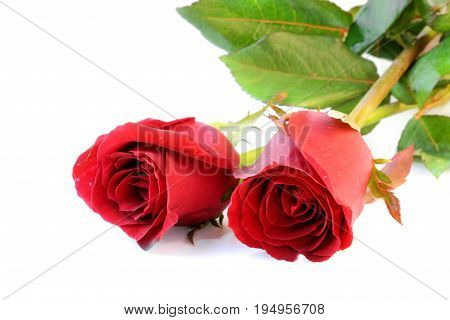 Two beautiful red roses on white background.