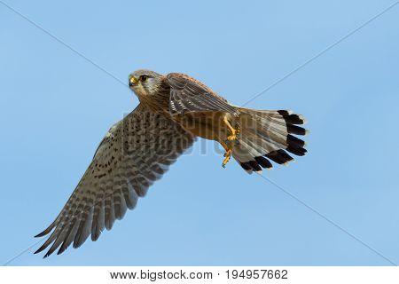 detailed portrait common kestrel (falco tinnunculus) during flight