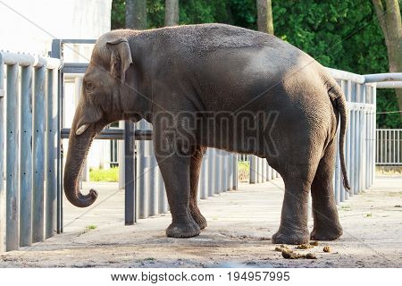 The big elephas maximus in the zoo