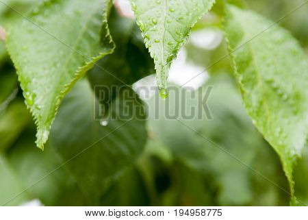 Water Droplet From Rain On A Gree Leaf