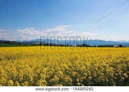 Rape Meadow Under Blue Sky