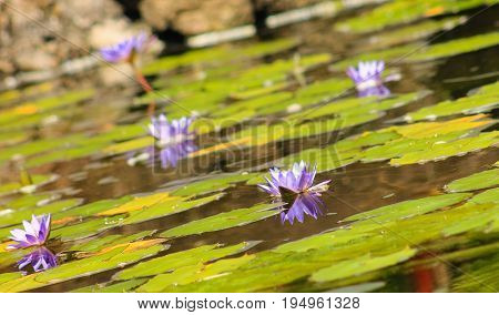 Image of Blue Lotus Water Lillies (Nymphaea nouchali)