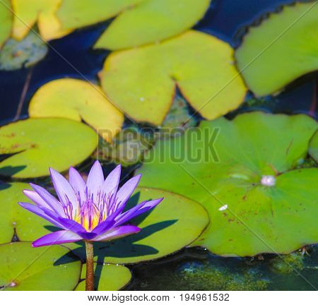 Close up image of a Blue Lotus Water Lily (Nymphaea nouchali)