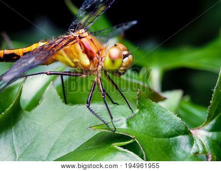 Large yellow dragon fly pearched on some leaves in a flower pot. The insect's eyes mouth and hairs are clearly visible.