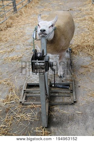A Sheep in a Head Yoke Restraining Holding Device.
