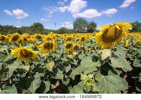 Sunflowers garden. Sunflowers have abundant health benefits. Sunflower oil improves skin health and promote cell regeneration.
