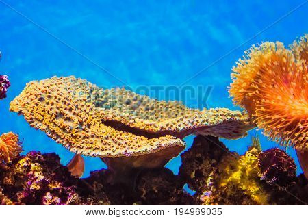 Montipora Coral - Montipora is a genus of small polyp stony coral in the phylum Cnidaria.