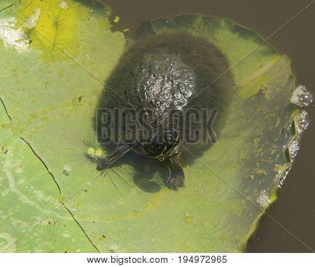 A Water Turtle suns itself on a Lilly Pad in the waters near the North Carolina Estuarium in WashingtonNorth Carolina