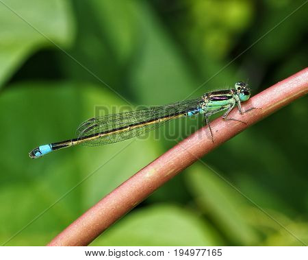 Turquoise green damselfly in its natural habitat