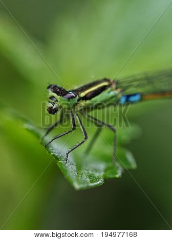 Macro photo of a turquoise green and blue damselfly from Mauritius
