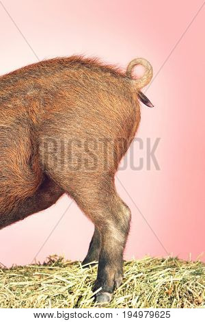 Side view of rear end of pig against pink background