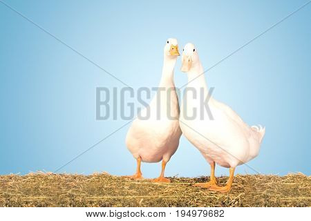 Portrait of two geese standing against clear blue sky