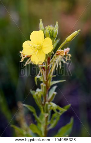Open Yellow Oenothera Biennis