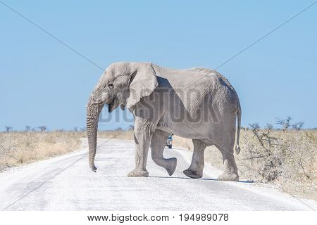 A white African elephant Loxodonta africana walkingaccross a road in Northern Namibia. It is covered with white calcrete dust