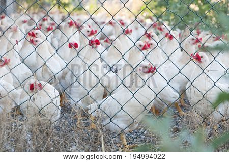 hens in a cage on a poultry farm