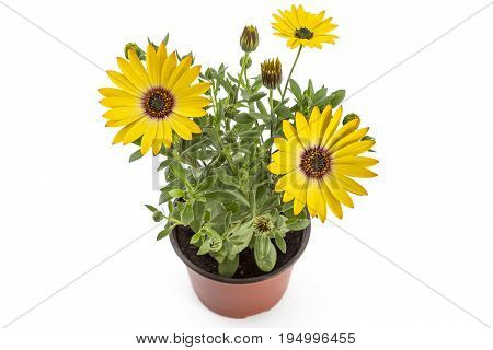 Orange young garden African Daisy flowers with leaves, Osteospermum Symphony, in flowerpot on white background