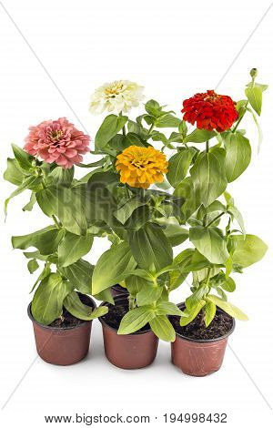 Beautiful colorfull zinnia flowers, Zinnia Elegans, in flower pot with green leaves. Close up view of zinnia flowers