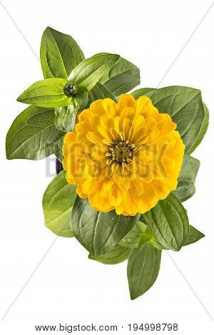Yellow zinnia flower, Zinnia Elegans, in flower pot with green leaves. Close up view of zinnia flowers