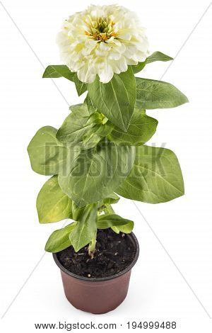 White zinnia flower, Zinnia Elegans, in flower pot with green leaves. Close up view of zinnia flowers