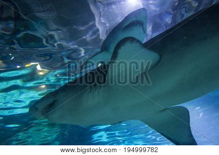 2 Sand Tiger Shark Carcharias taurus , dangerous fish floating the special tank of Aquarium in Barcelona