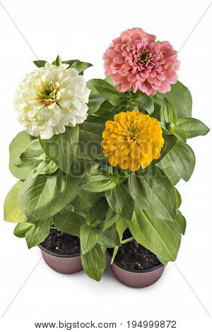 Beautiful white, yellow and pink zinnia fowerheads, Zinnia Elegans, in flower pot with green leaves. Close up view of zinnia flowers
