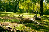 Australian cangaroos relaxing on the grass under tree poster