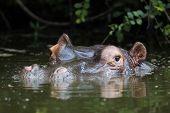 Hippopotamus amphibius : South Africa poster