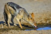 Black-Backed Jackal : Canis Mesomelas : South Africa : Kalahari dessert poster