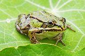 rana esculenta - common european green frog on a dewy leaf poster