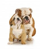 father and son dogs - two english bulldogs sitting on white background poster